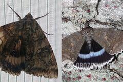 У Чорнобилі з'явився гігантська метелик