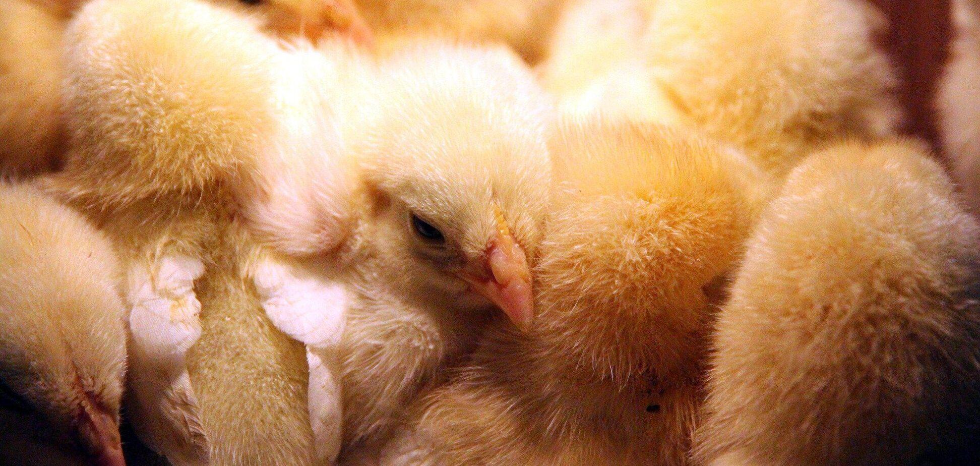 В Дании зарегистрировали вспышку птичьего гриппа среди домашних кур