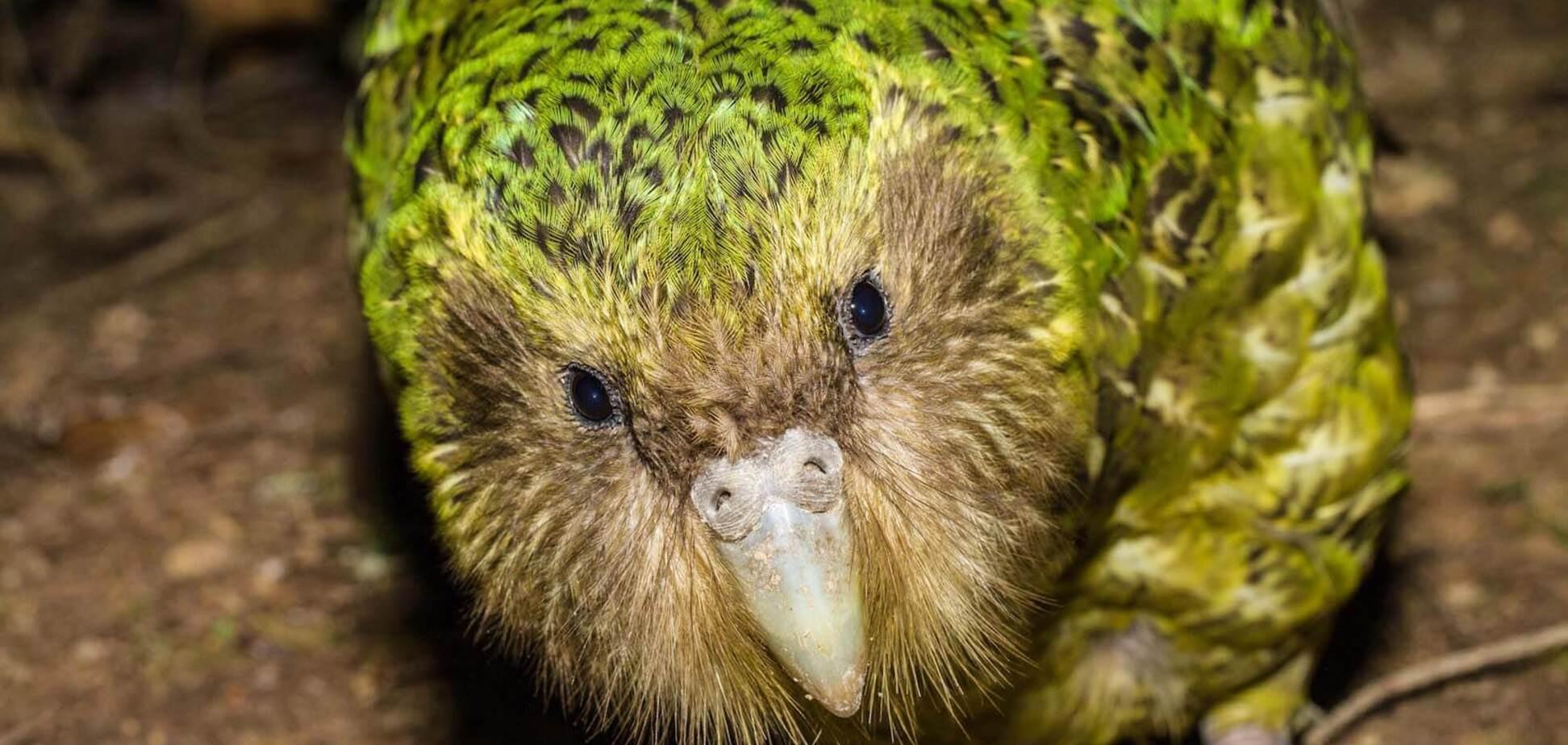 Папуга какапо, який не літає, став птахом року в Новій Зеландії: як виглядає