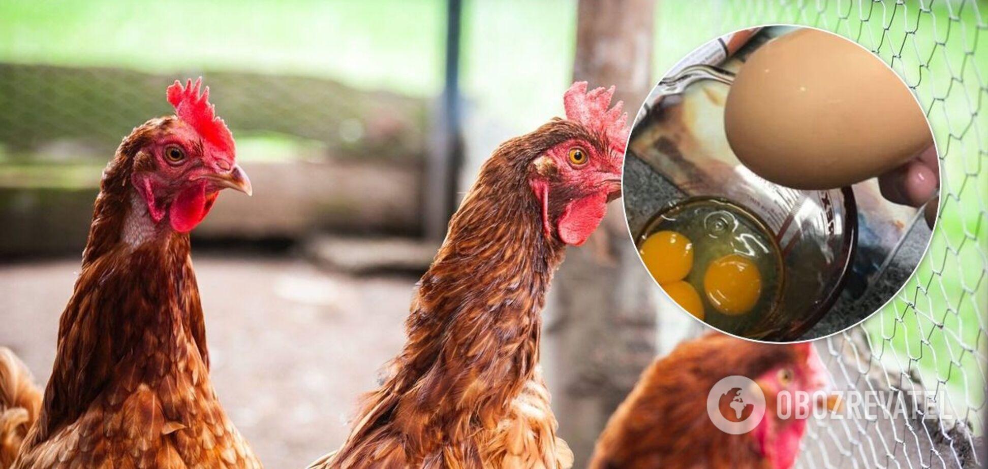 Курка в Австралії знесла яйце з трьома жовтками