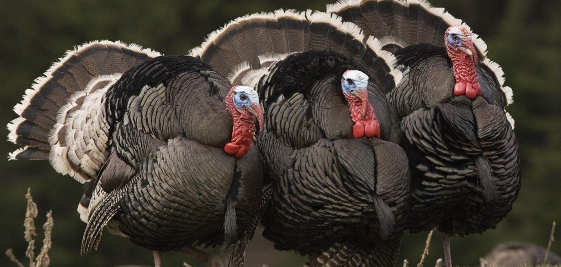 В Англии выявили вспышку птичьего гриппа на индюшиной ферме