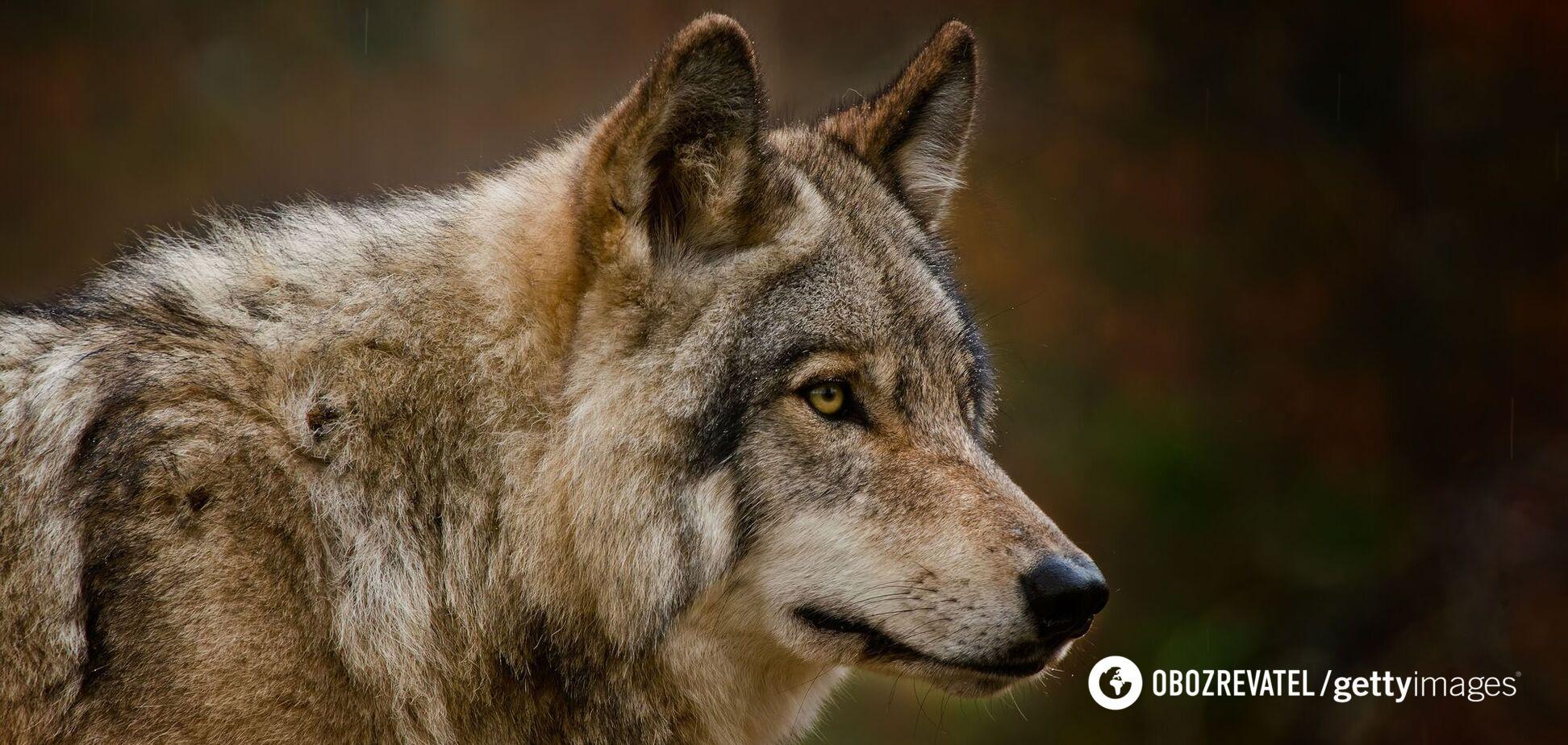Поселок Ворохта на Прикарпатьеатаковали волки