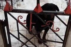 На Харьковщине ротвейлер насмерть загрыз 4-летнего малыша: фото собаки-убийцы