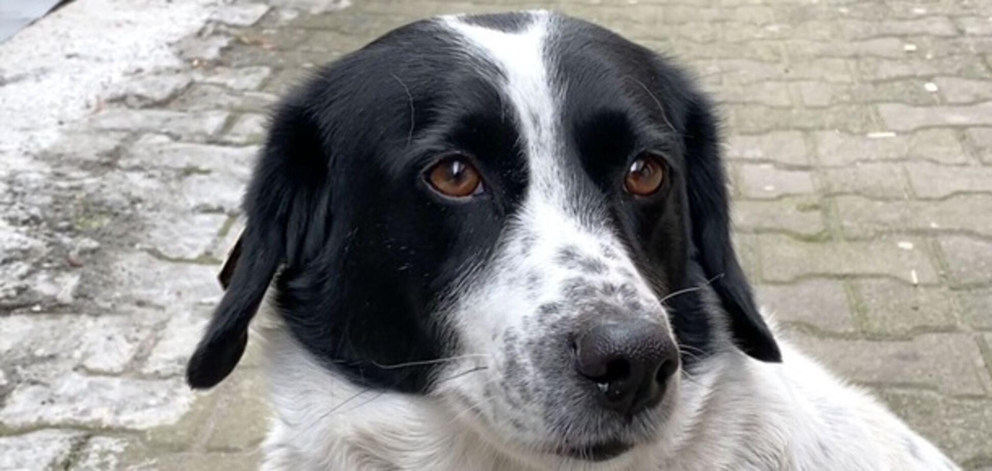 Собака Купата допоміг дітям перейти дорогу та став зіркою соцмереж. Відео