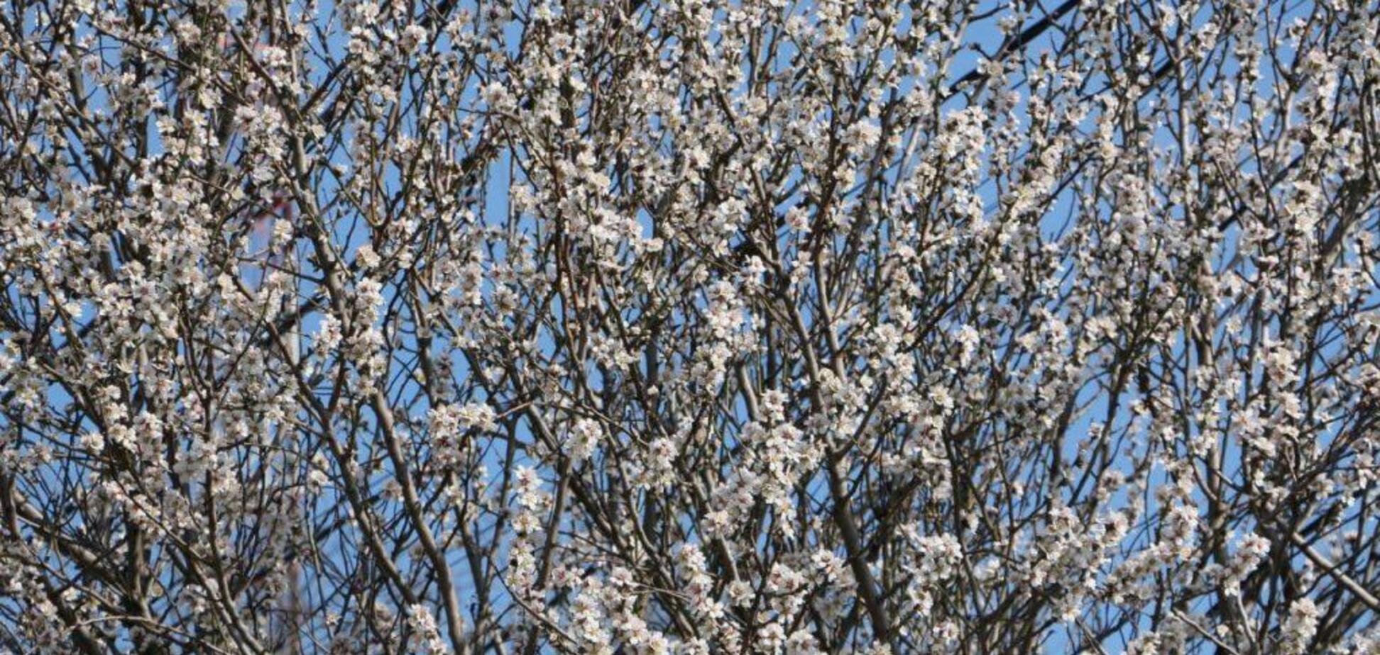 В Одесі під кінець лютого зацвіли абрикоси