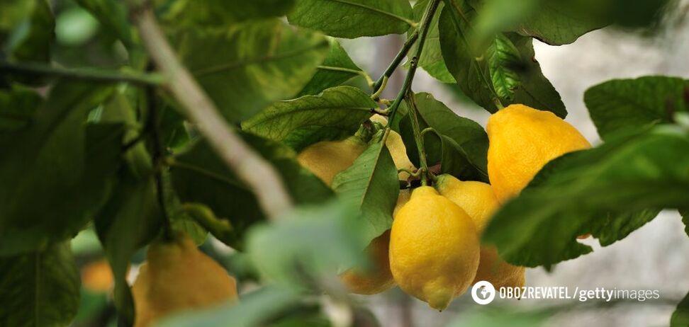 Туреччина заборонила вивезення лимонів з країни до кінця літа
