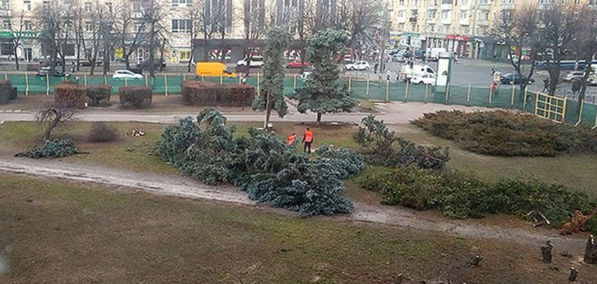 В Черкассах подрядчик срубил многолетние голубые елки в сквере