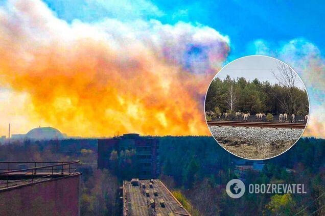 Пожежу у Чорнобильській зоні вдалось загасити