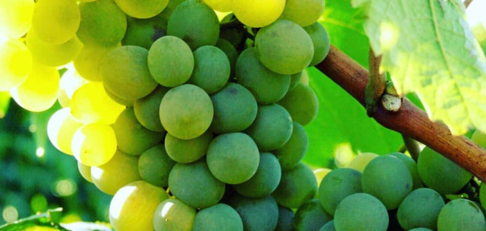 Ручная обработка лозы и сбор винограда – 'Таврия' меняет модель виноградарства