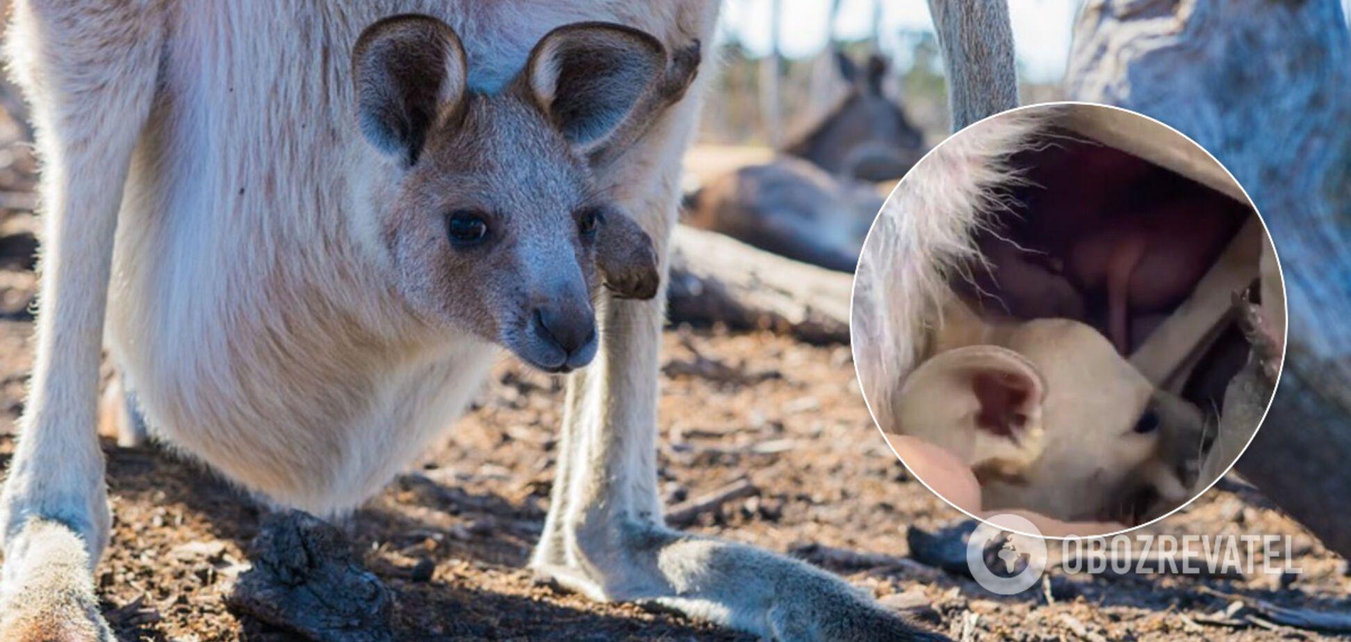 Відео сумки кенгуру зсередини викликало суперечки в мережі