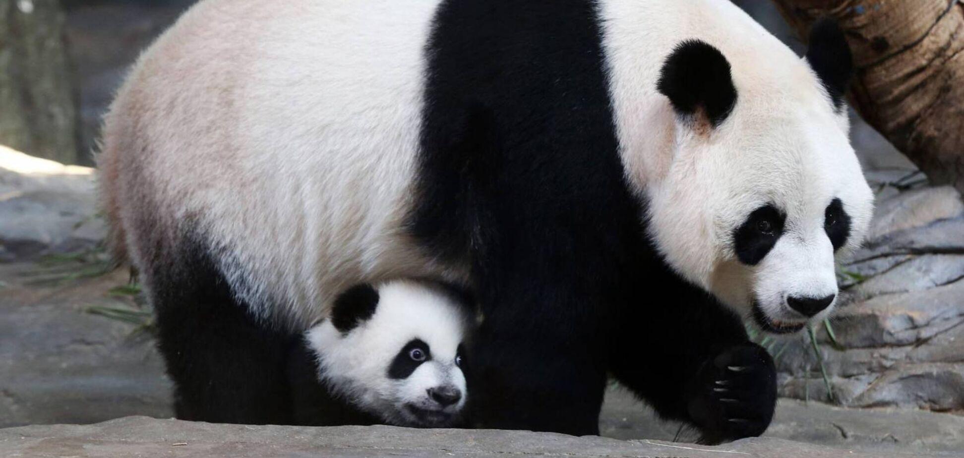 Гигантская панда: питание, поведение, особенности