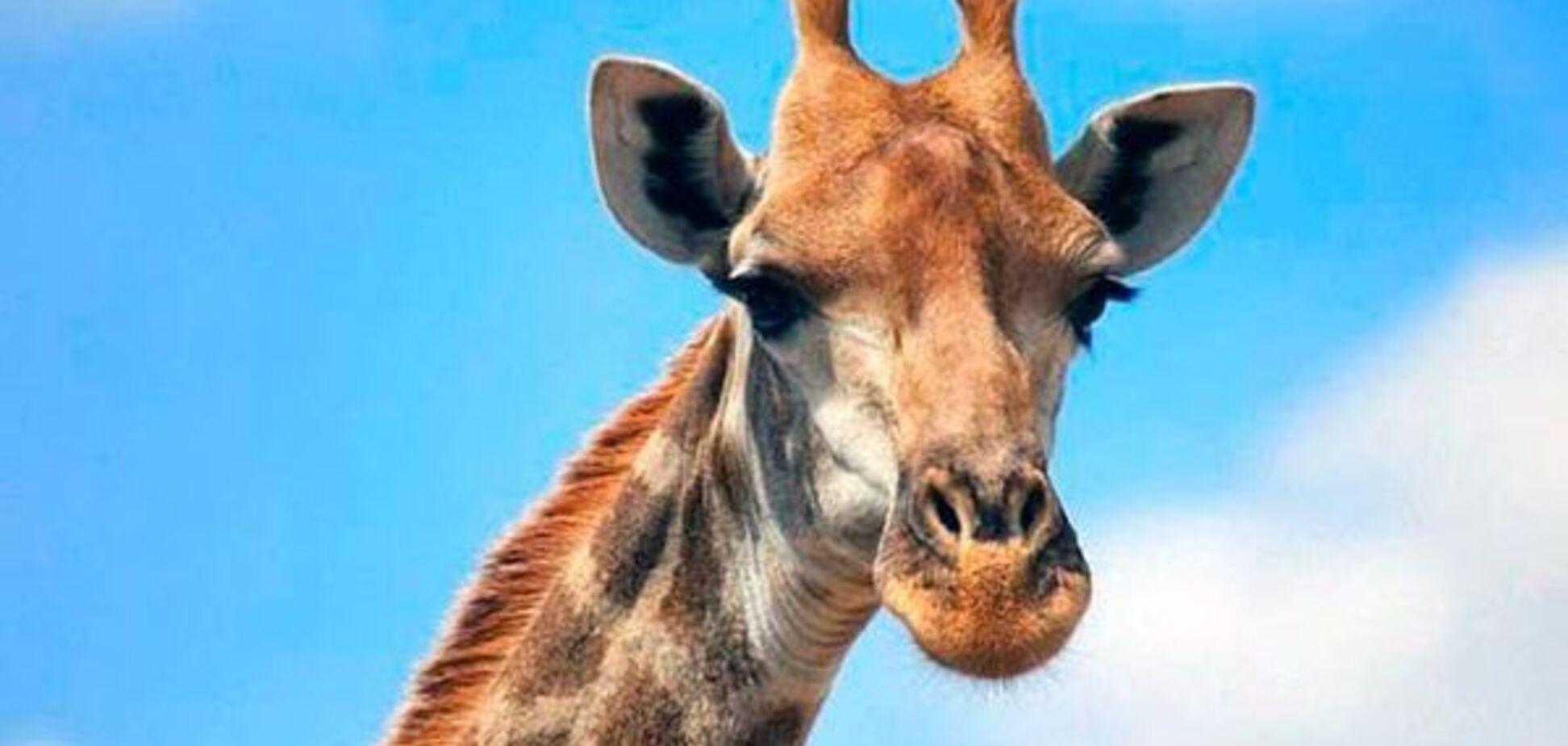 Жирафы: характеристика, образ жизни, интересные факты