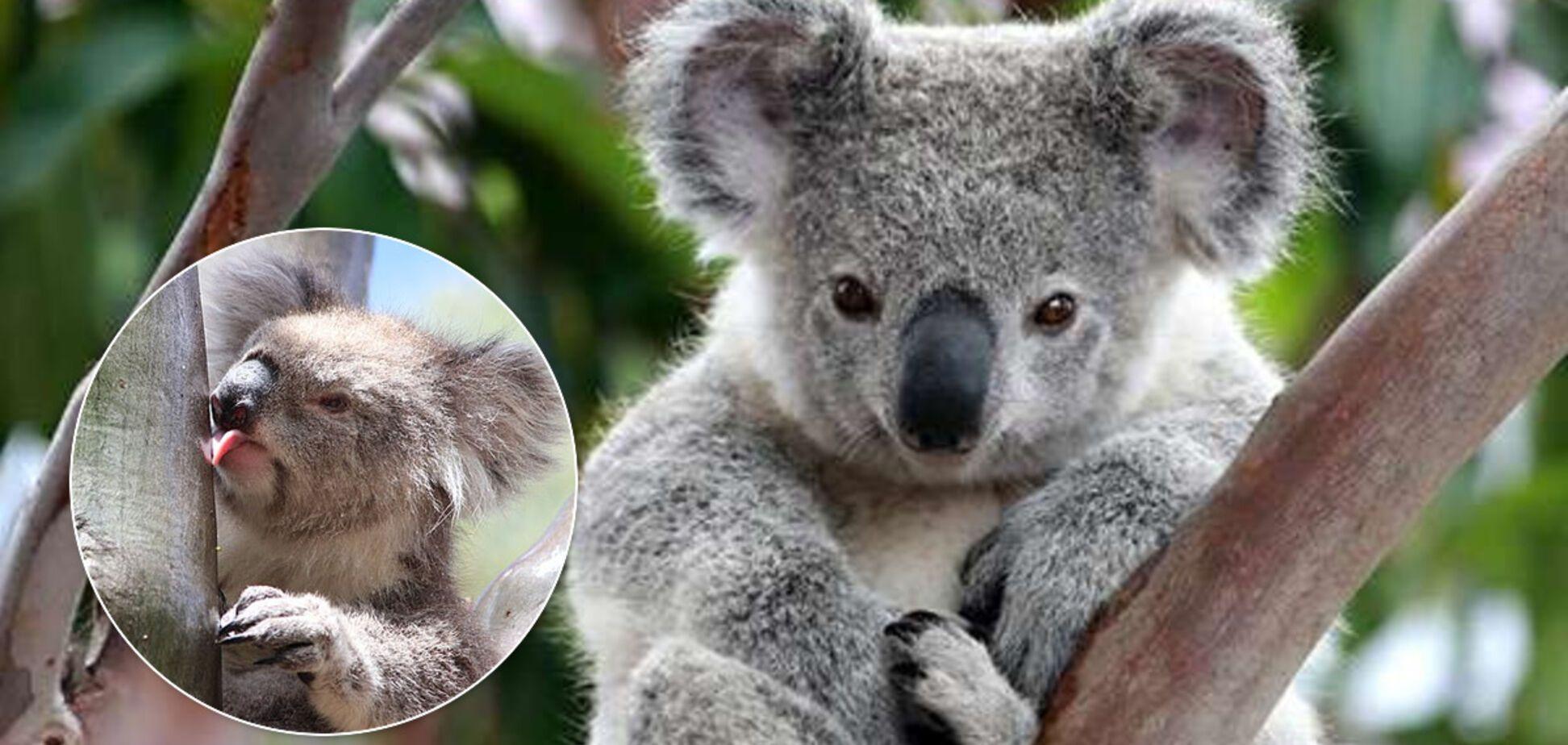 Відповіді не було 13 років: вчені нарешті відповіли на 'загадку століття' про коал. Відео