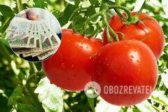 Обильный урожай помидоров в Украине обвалил на них цены