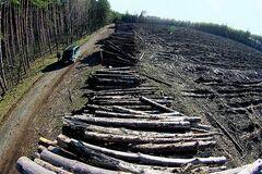 Вирубка лісу в Чорнобилі: активістів викрили в можливій змові з 'любителями наживи'