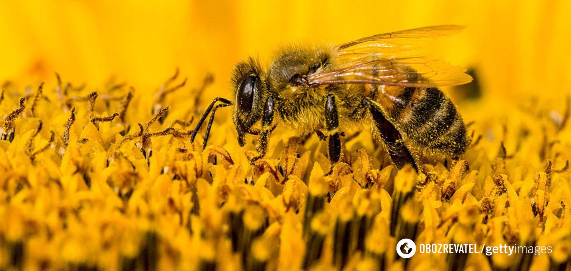 Кожній бджолиної сім'ї за сезон потрібно зібрати 120-150 кг нектару
