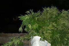 На Днепропетровщине мужчина во дворе дома вырастил 600 кустов конопли. Фото