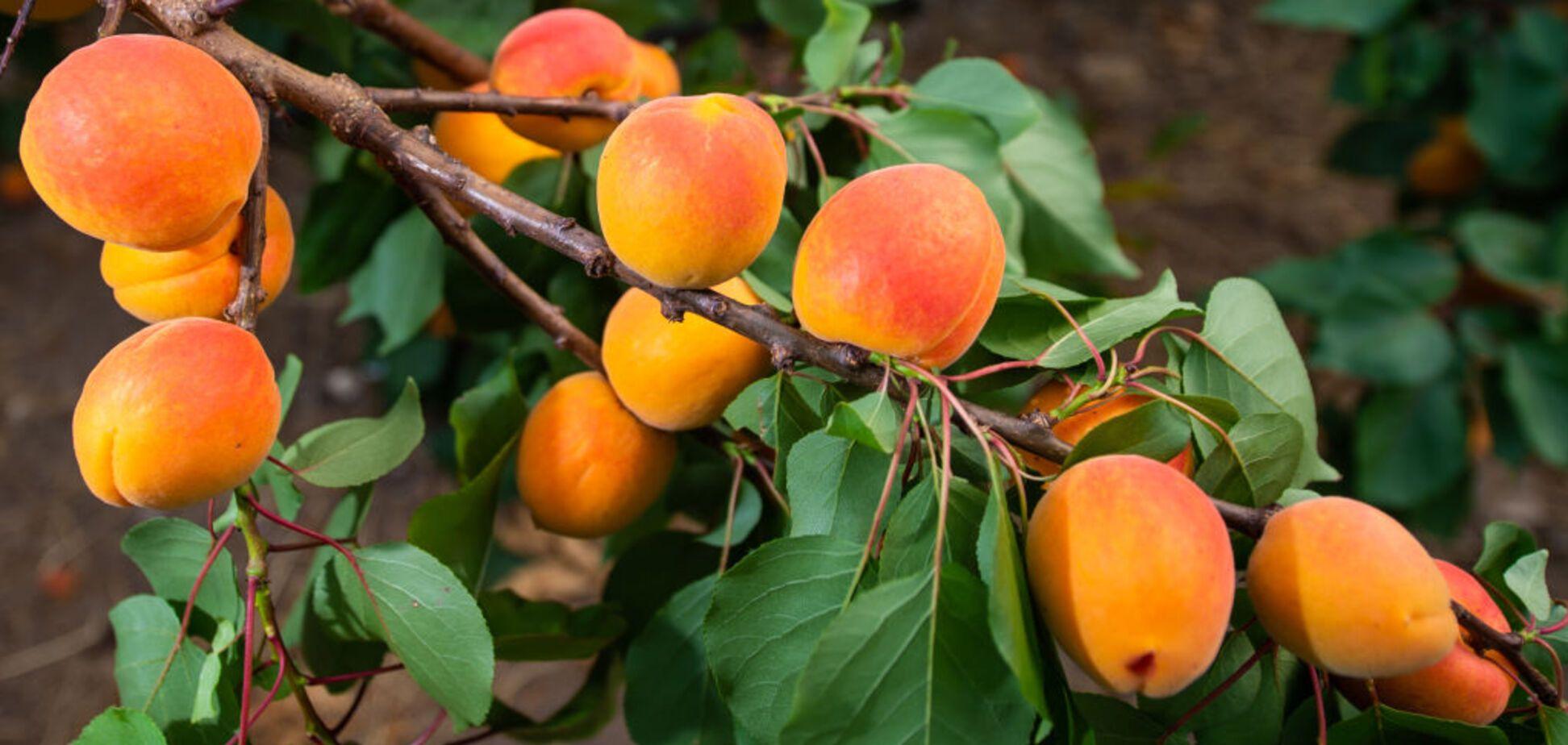 Диетологи предостерегли от злоупотребления абрикосами