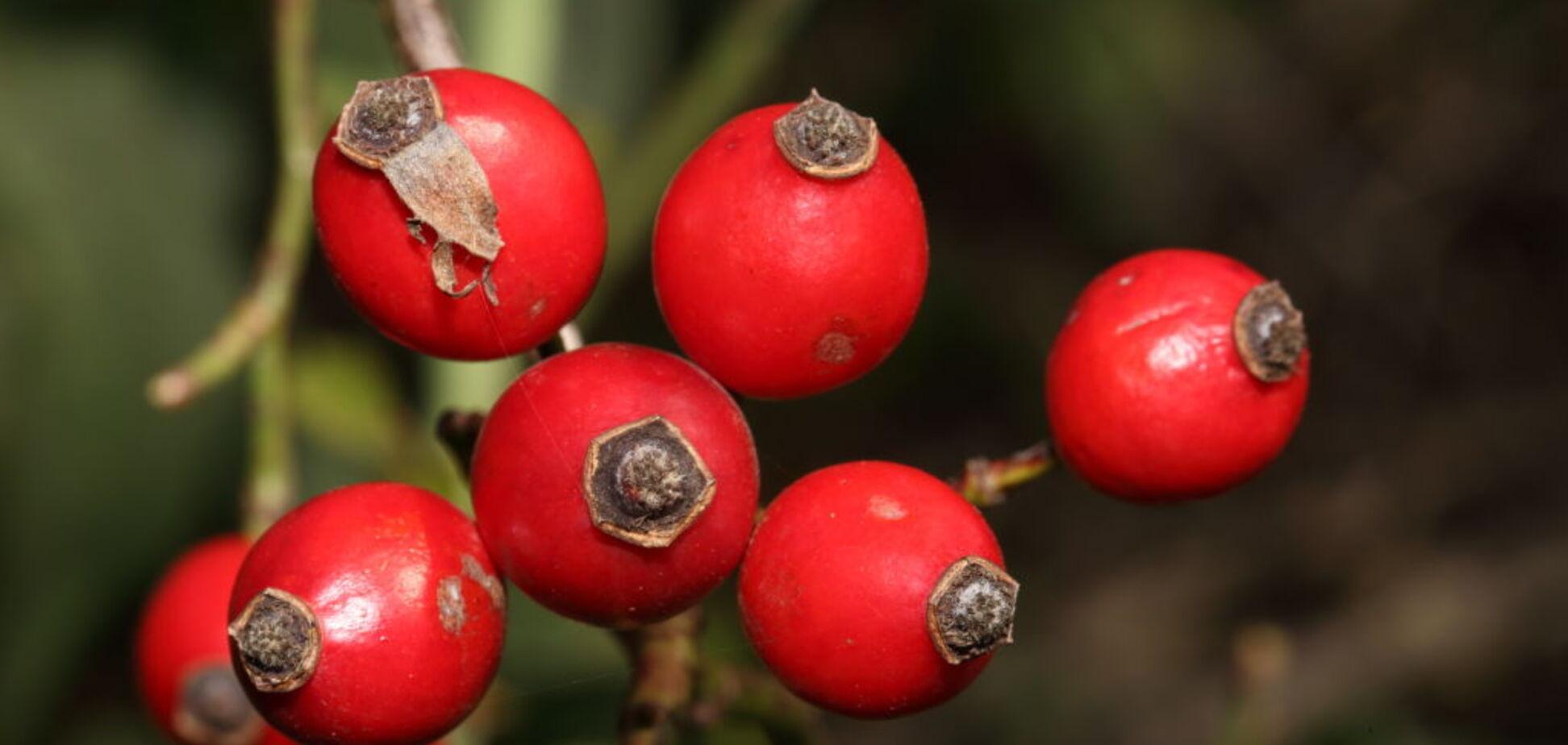 Властивості та способи застосування плодів шипшини