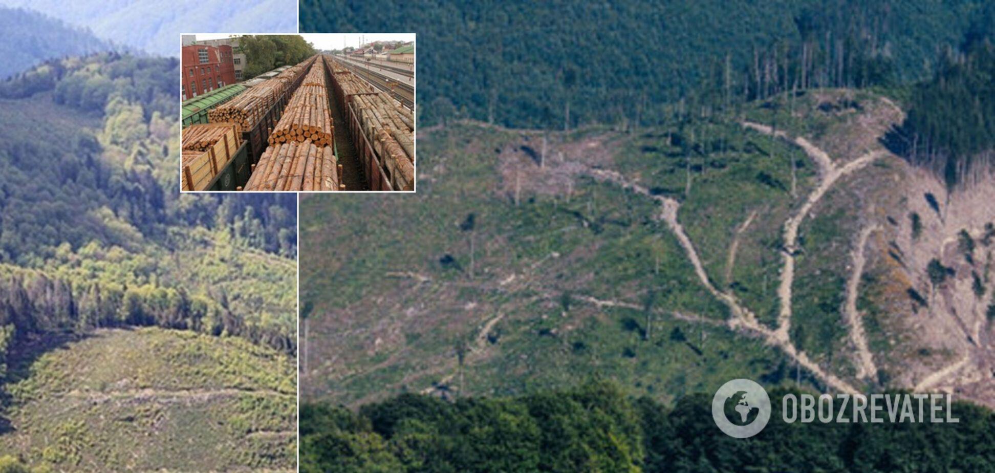 В Україні почали бити на сполох через масове вирубування Карпат: висновки екологів