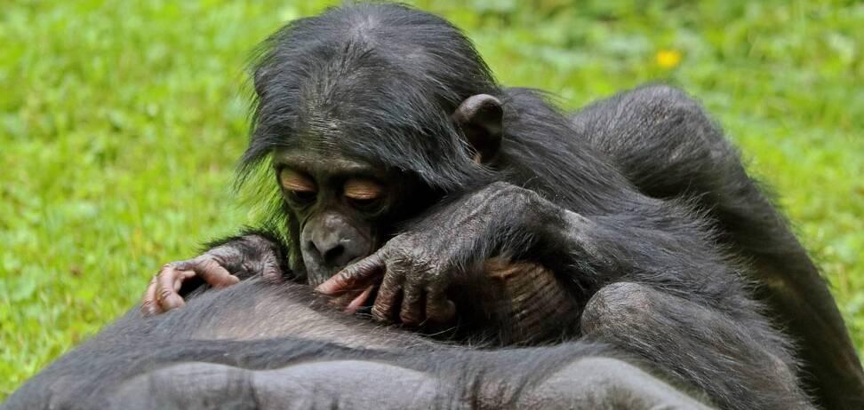 Исследователи изучили поведение обезьян бонобо, которые поддерживают уникальную иерархию и очень мирный режим в своем обществе