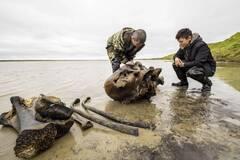 В одном из российских сел нашли останки взрослого мамонта