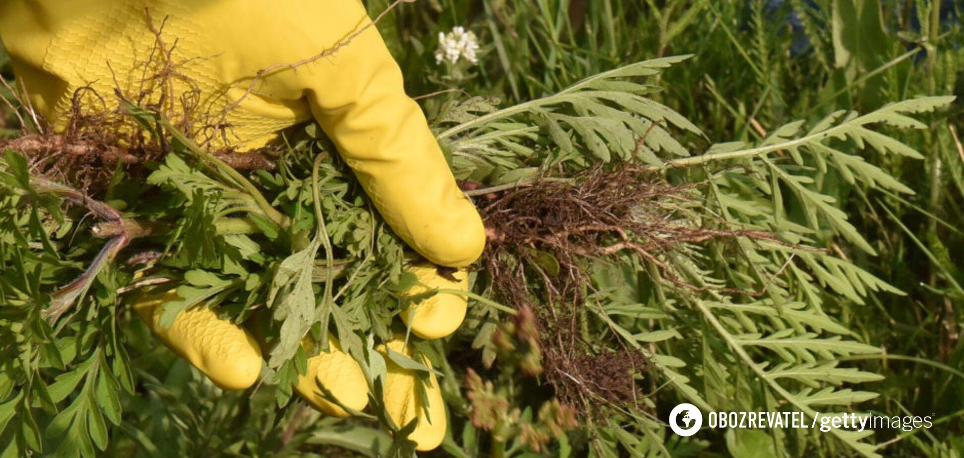 Амброзия выйдет на пик цветения в Украине через 10 дней: как бороться с аллергеном