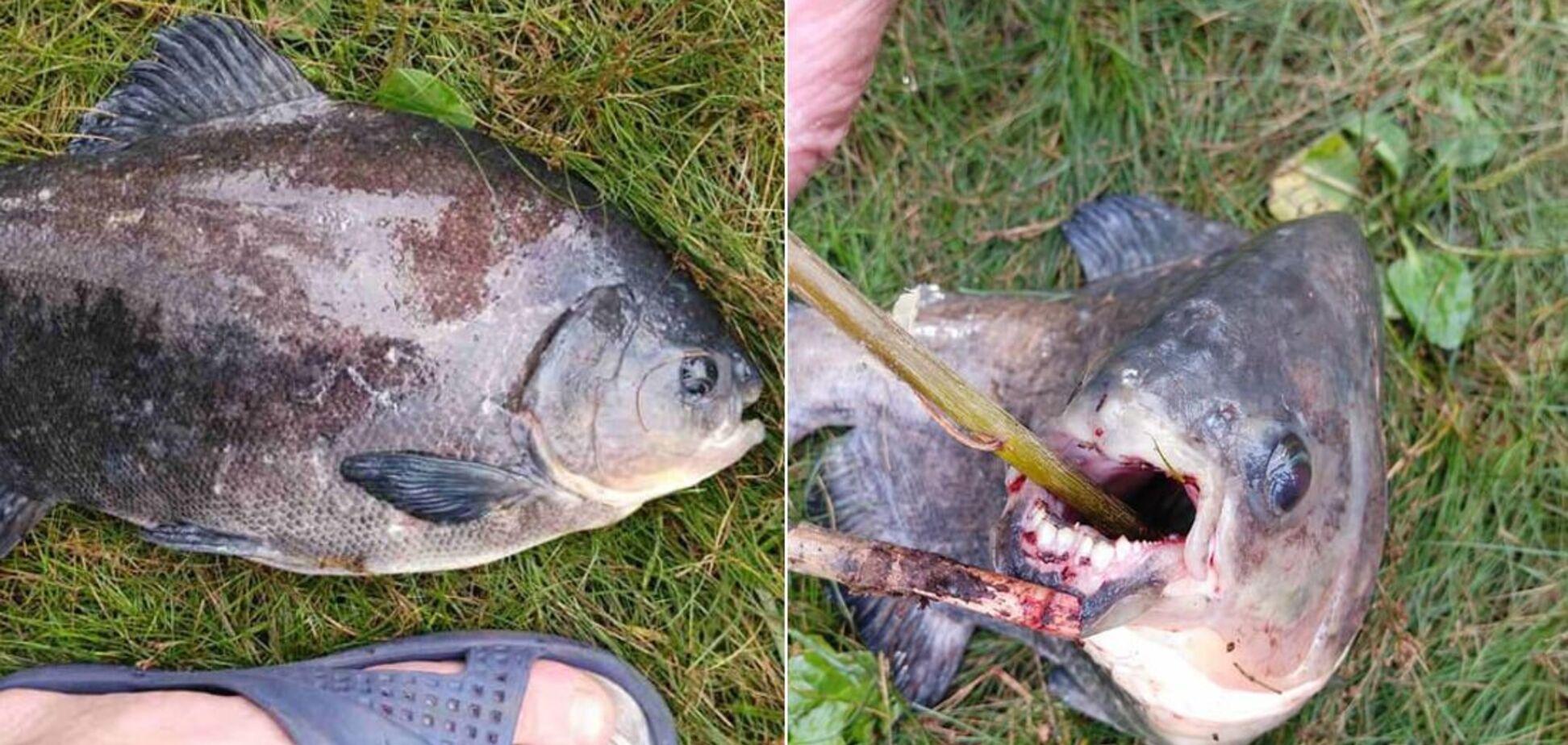 Рыбак поймал в Киеве рыбу, похожую на пиранью
