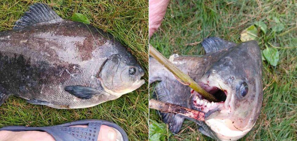 Рибак зловив в Києві рибу, схожу на піранью