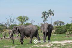 Выяснилась причина массовой гибели слонов в Африке: не браконьеры и не болезнь