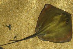 В Одесі виявили ската-хвостокола