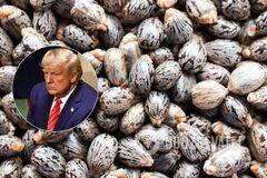 Семена клещевины – источник рицина