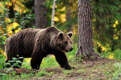 В Чернобыльскую зону вернулись медведи