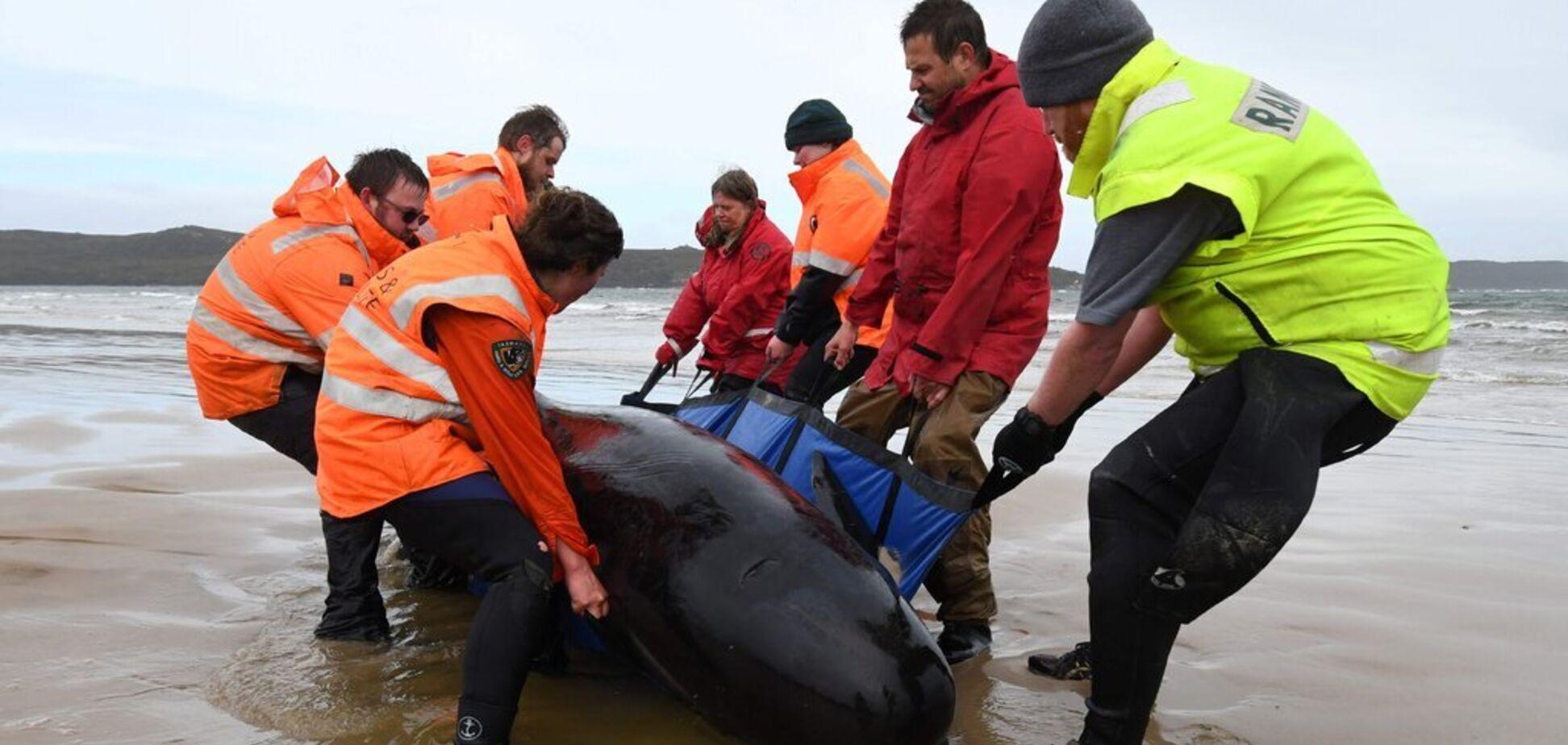 У берегов Тасмании погибло около 500 китов