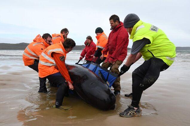 Біля берегів Тасманії загинуло близько 500 китів