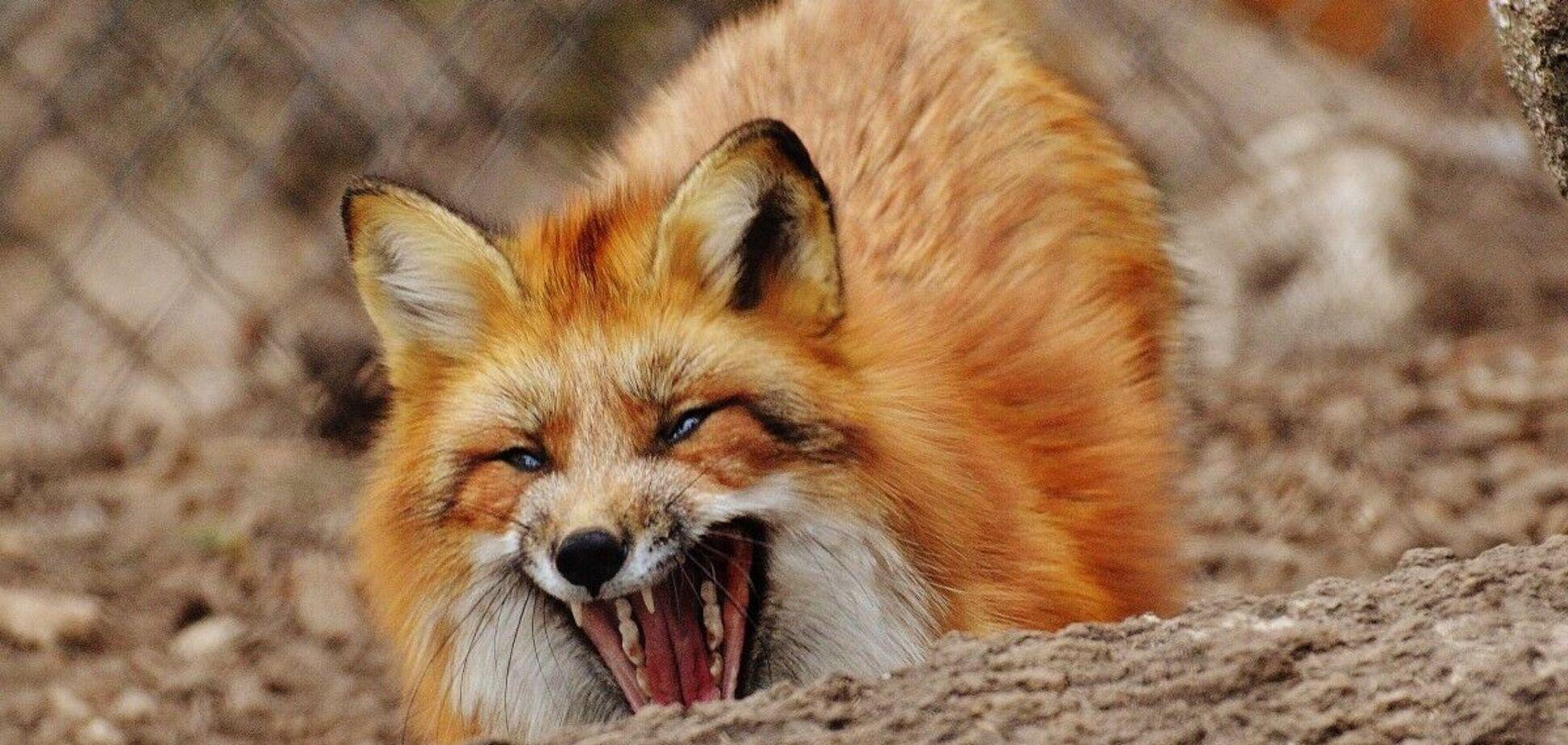 'Нездоровы и переносчики бешенства': в Днепре нашествие диких лис