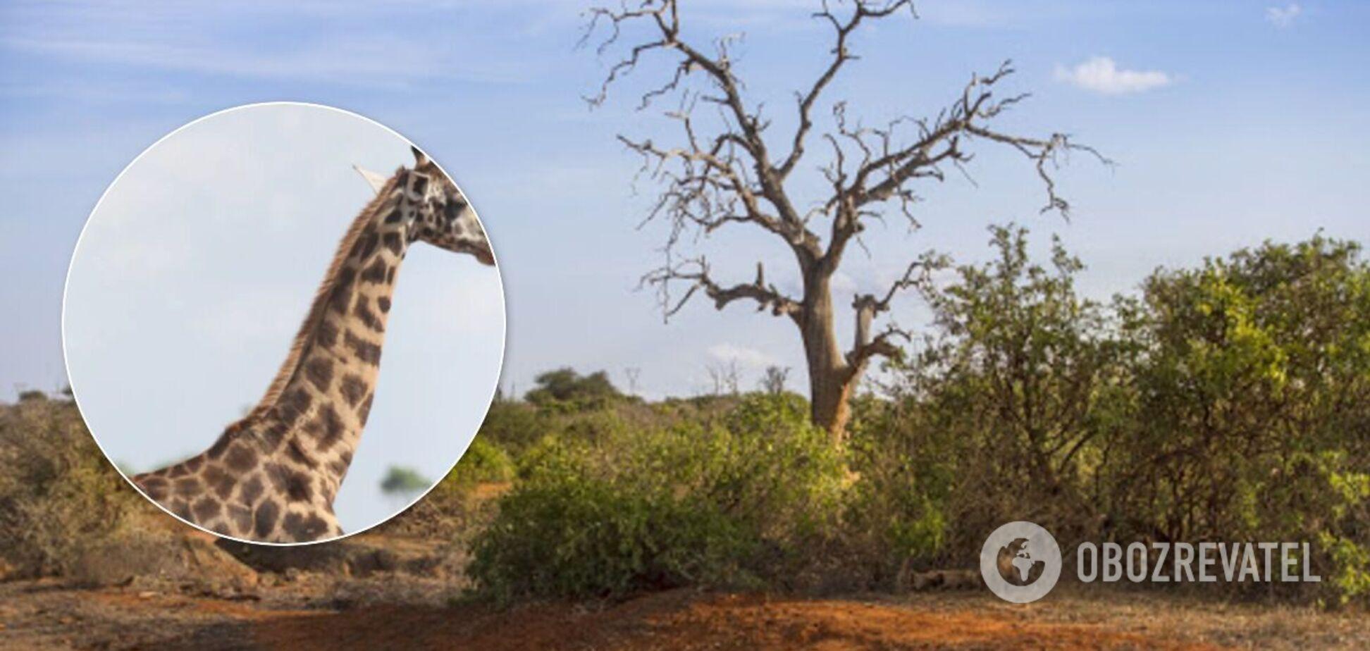 В Африке найдены жирафы-карлики. Фото