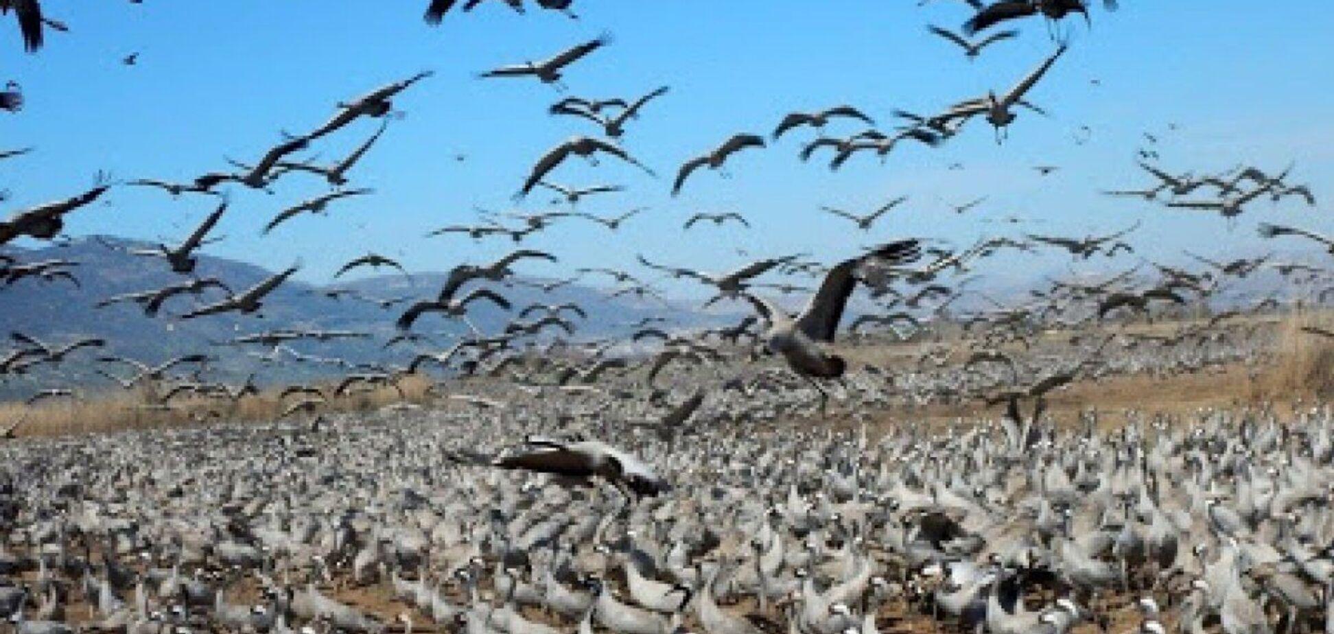 В 'Асканія-Нова' масово загинули сірі журавлі