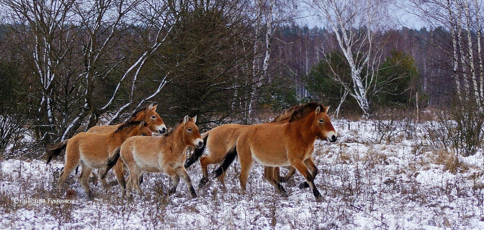 У Чорнобильському заповіднику помітили коней Пржевальського. Фото
