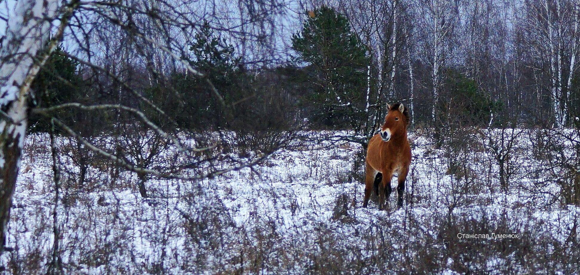 В Чернобыле заметили табун лошадей Пржевальского. Фото