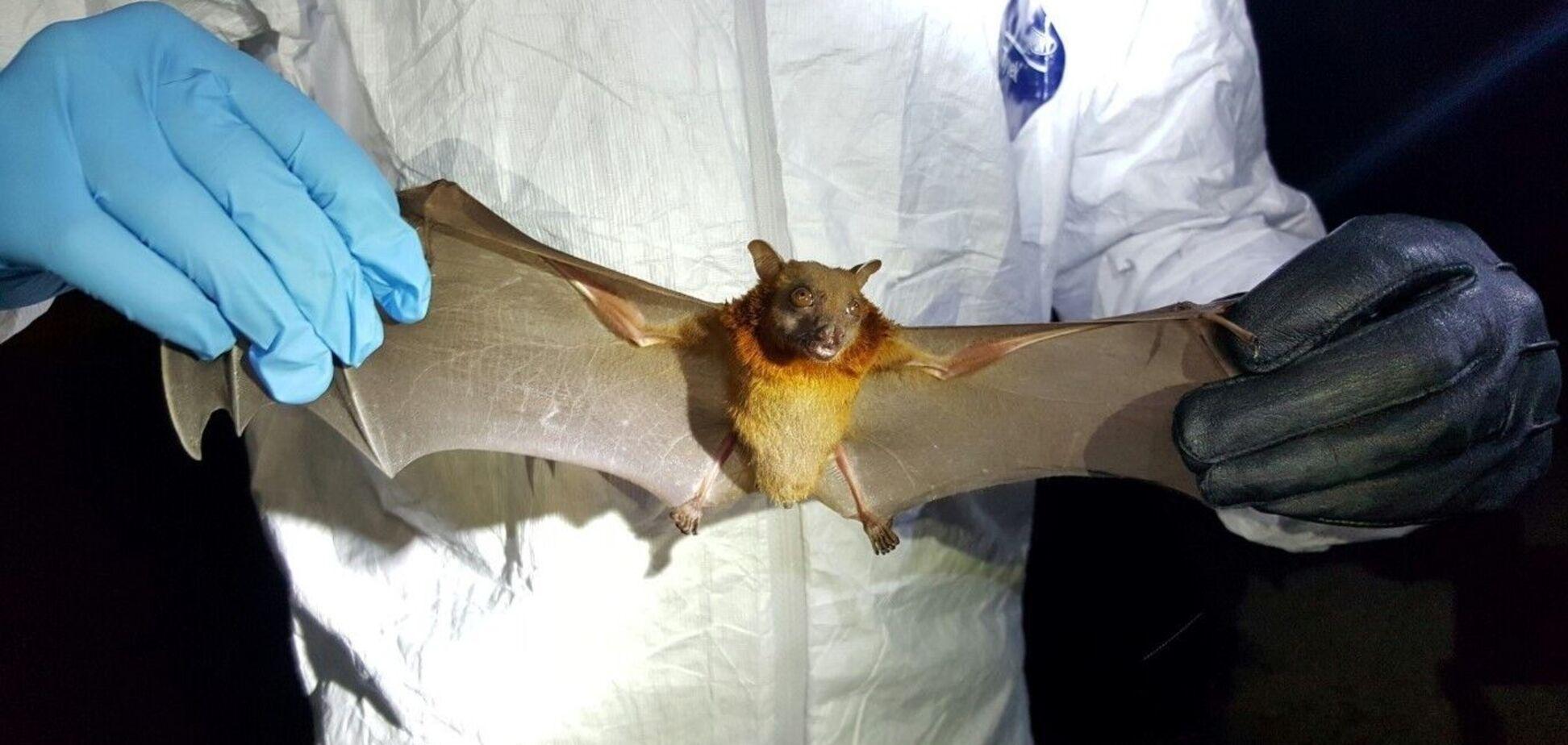 Вчені з Уханя розповіли про укуси кажанів