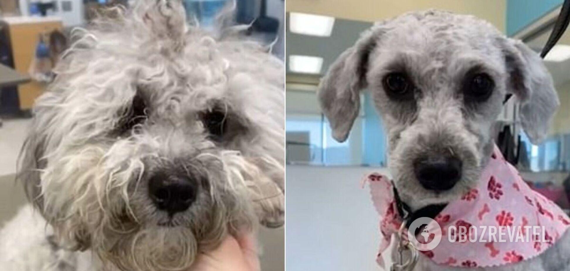 Собаку побрили одним махом и показали цельный 'коврик' шерсти