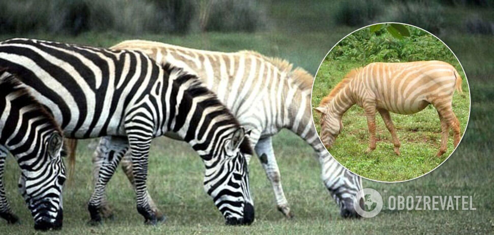 В Африке нашлись 'зебры-мутанты' с опасной окраской. Фото
