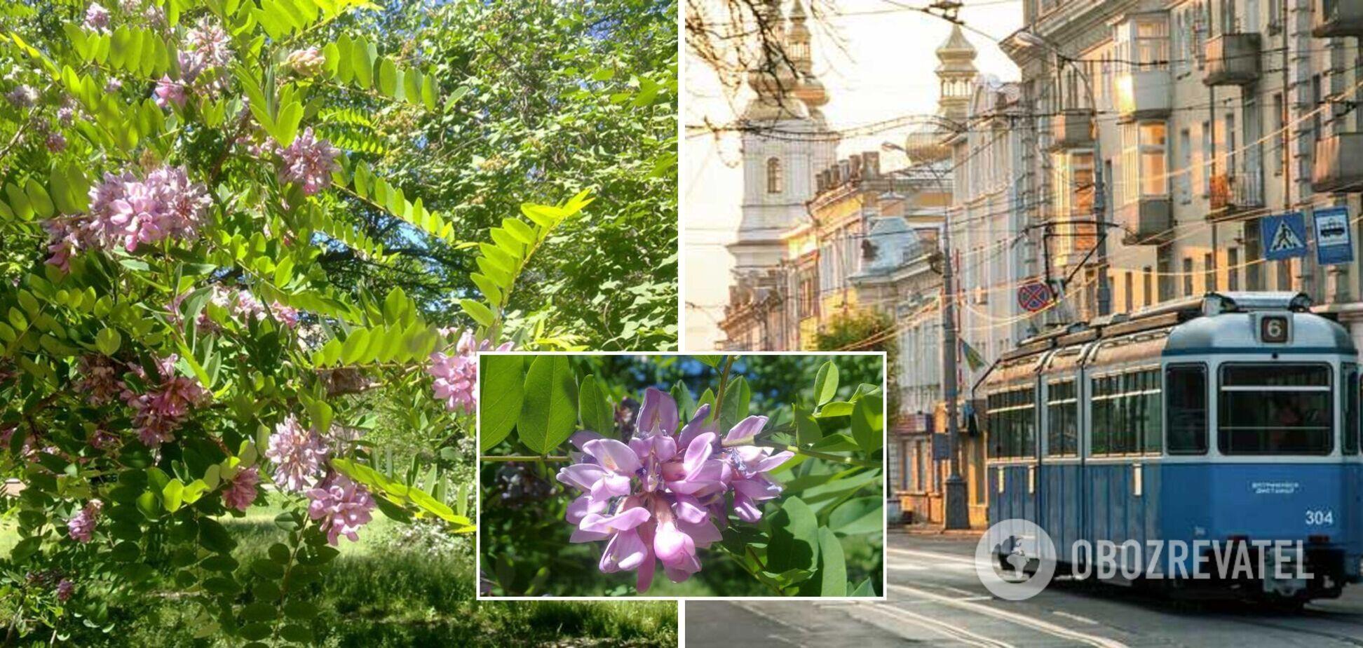 У Вінниці в середині жовтня зацвіла акація. Відео