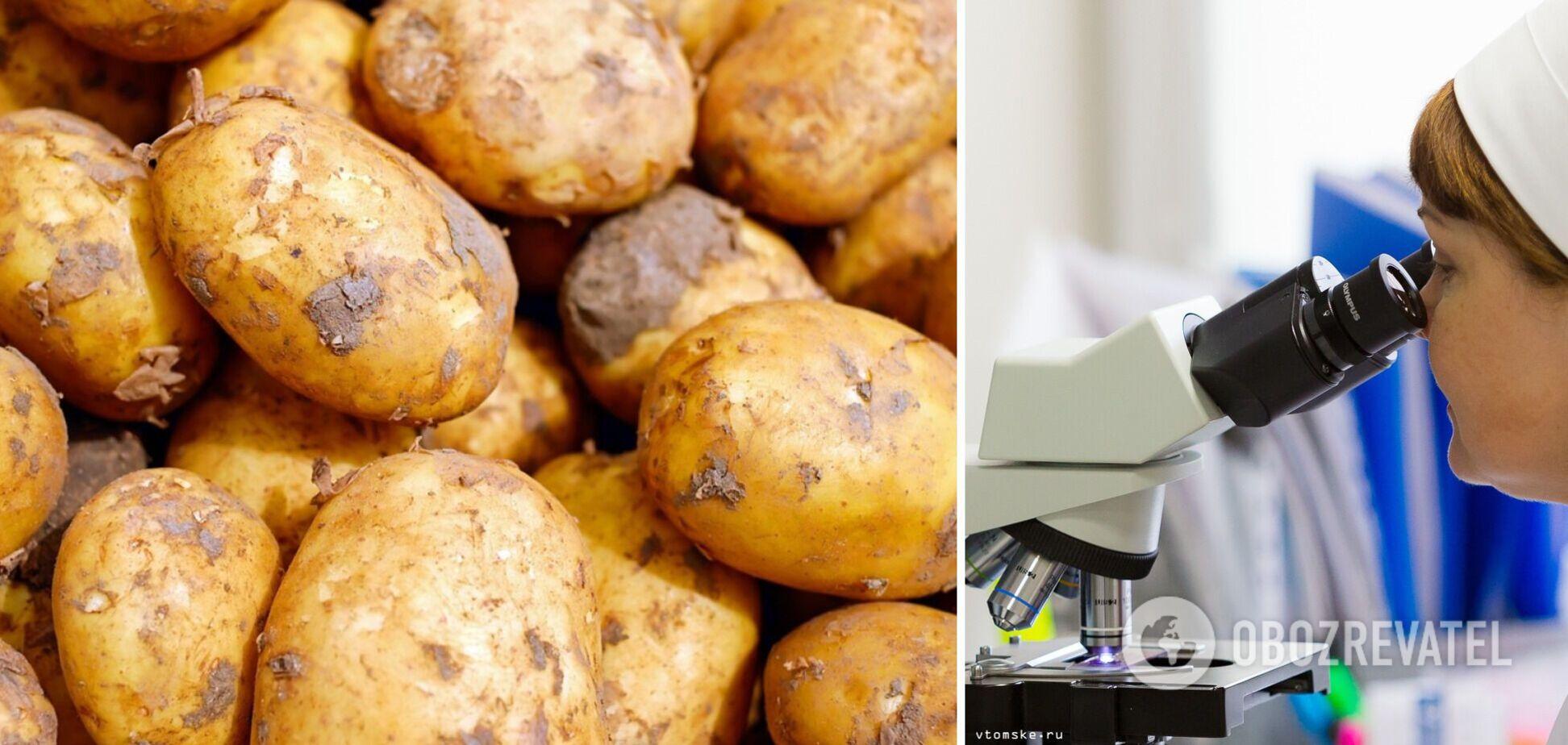 На Волині у картоплі виявили рак: що це таке і чи можна вживати заражені овочі
