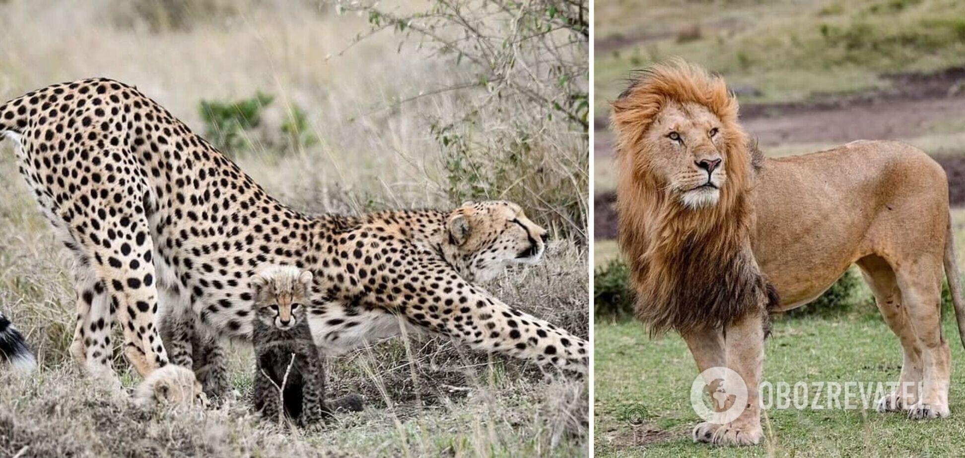 В Кении мама-гепард отогнала огромного льва от детенышей и стала звездой сети. Фото