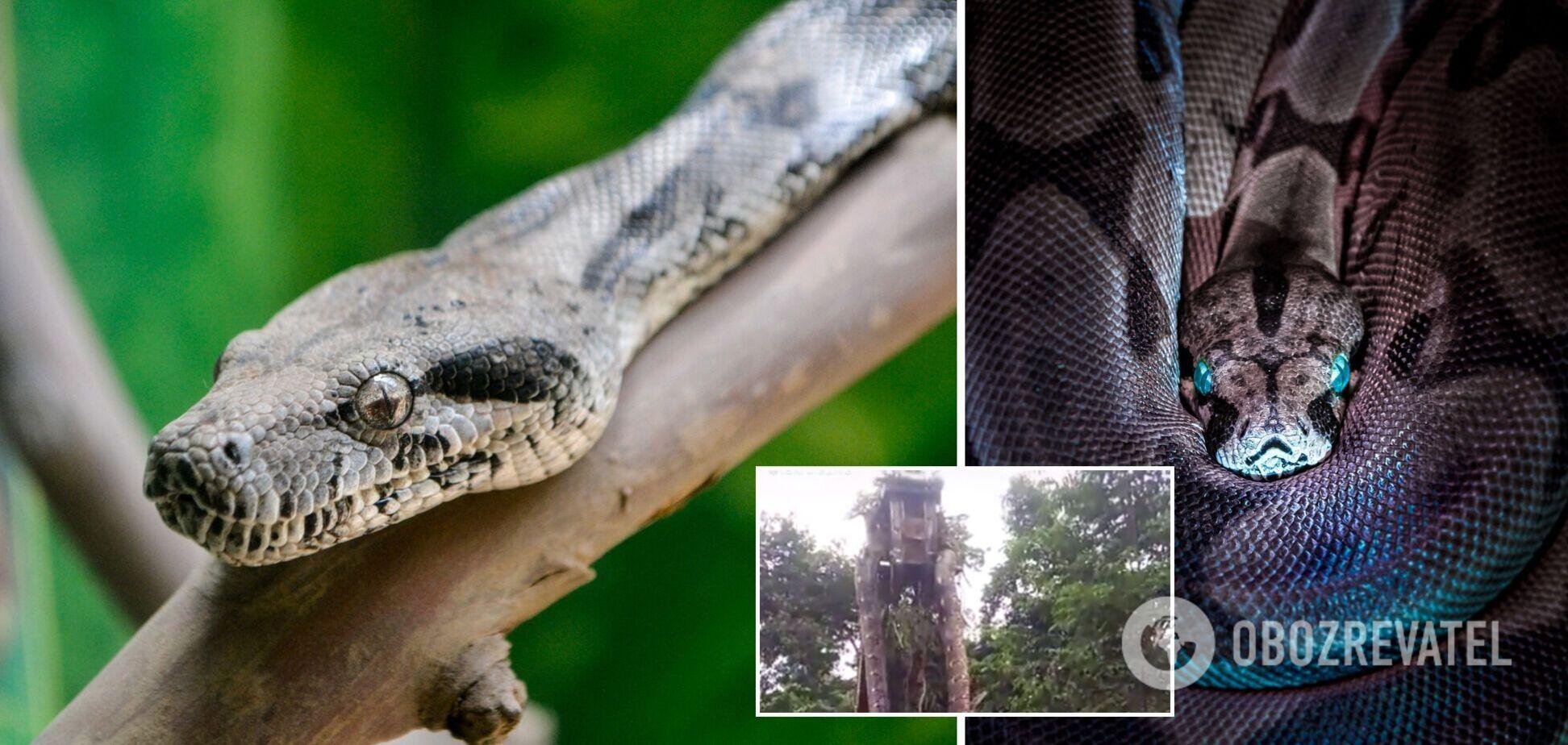 В джунглях обнаружили питона устрашающих размеров