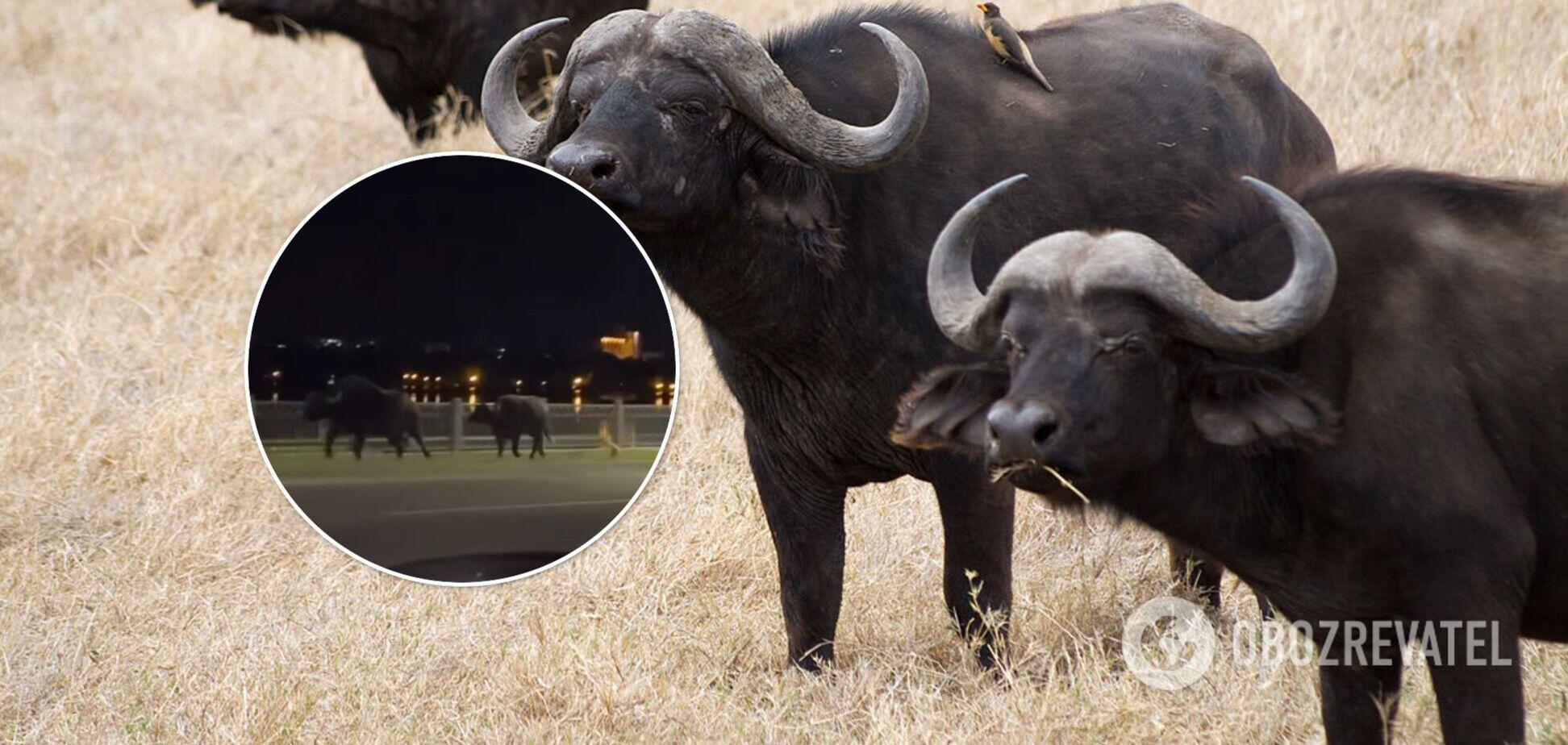 У Тернополі буйволи втекли із зоопарку і розгулювали вулицями. Відео