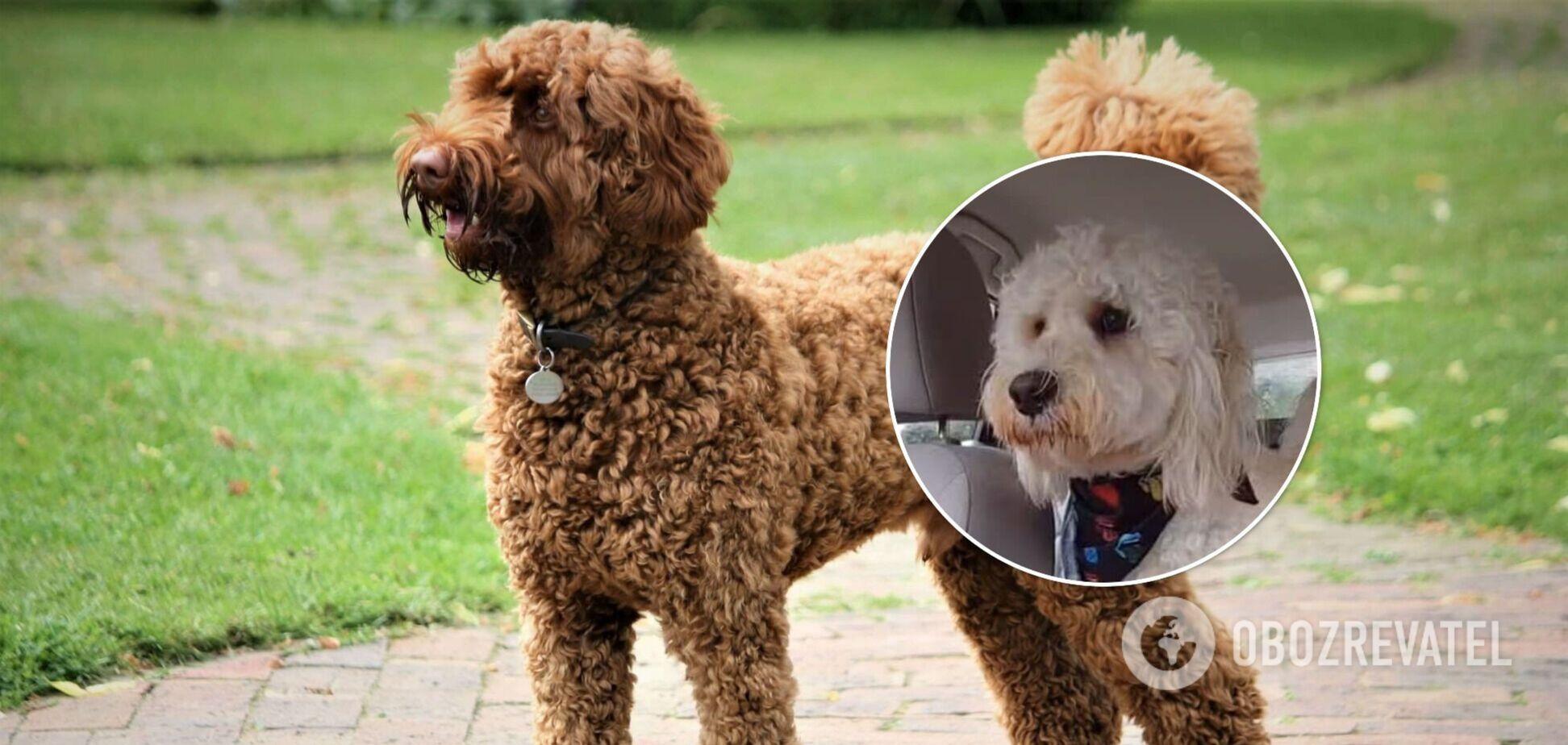 Відважний пес 'захистив' господаря від автомобільних двірників і став зіркою мережі. Вірусне відео