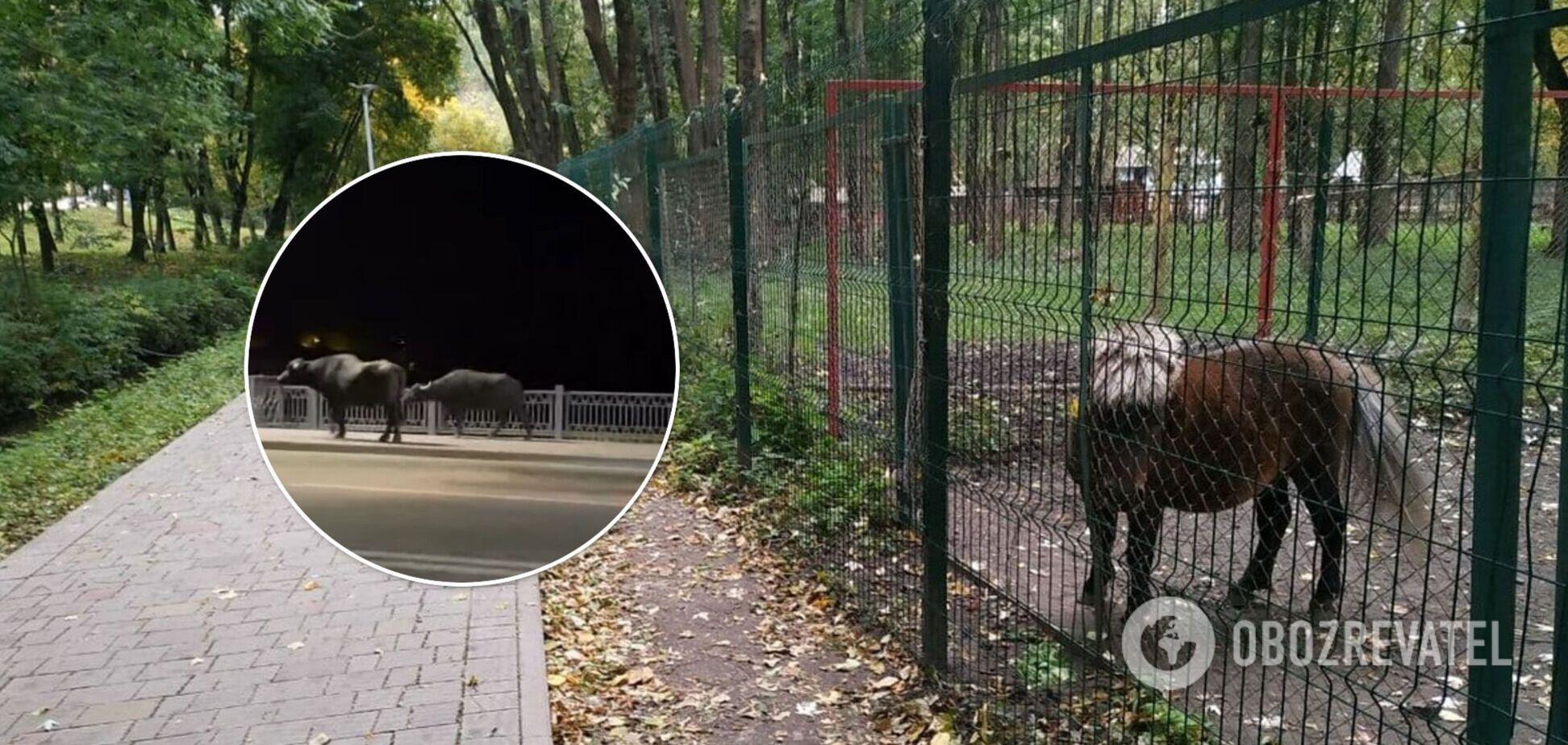 У Тернопільському зоопарку, звідки втекли буйволи, виявили сибірку